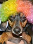 dachshund wig