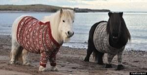 shetlands in sweaters