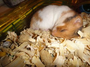 sleeping hamster