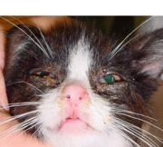 eye kitten