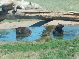 Bear Country 094