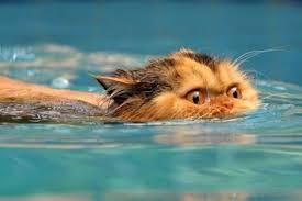 cat-swim