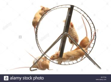 house-mouse-mus-musculus-coloured-mouses-in-hamster-wheel-B1YTC6